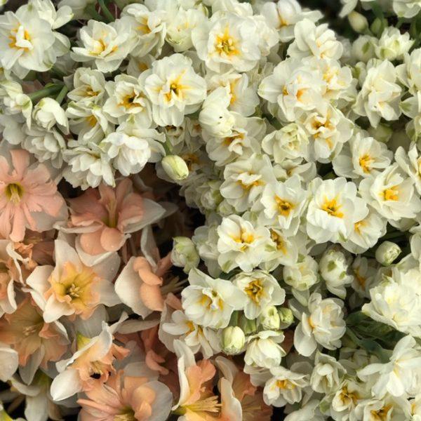 Daffodils at LynnVale Studios